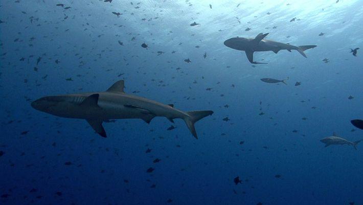 ¿Adivinas qué tiburón es?