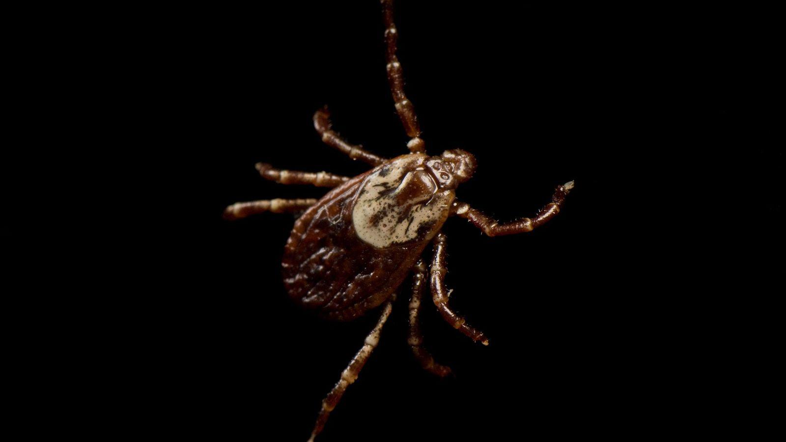 Garrapata Dermacentor variabilis