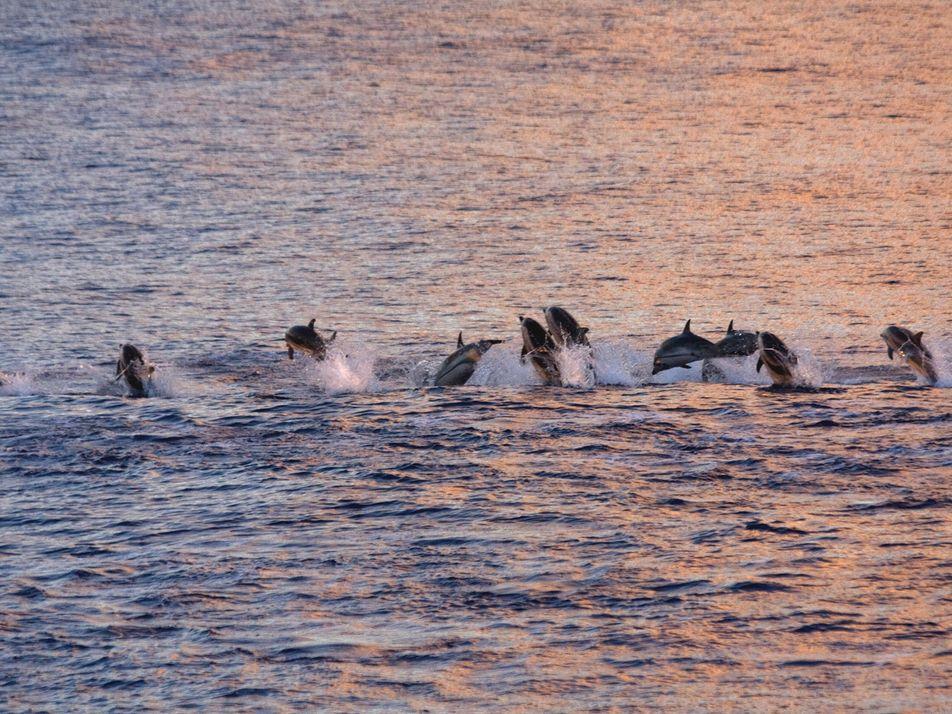 Una nueva cepa del virus más letal para los cetáceos se extiende por el Mediterráneo