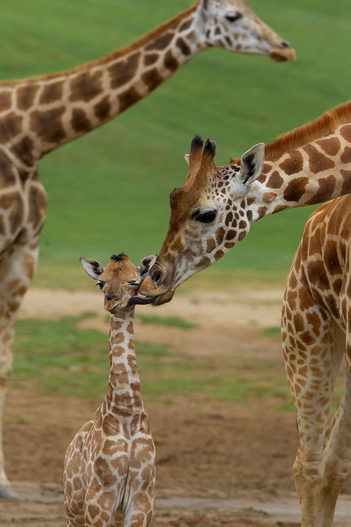 Un beso de jirafa