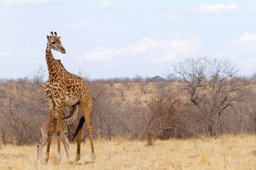 Una cría de jirafa se alimenta de su madre en la sabana, su hábitat natural, en ...