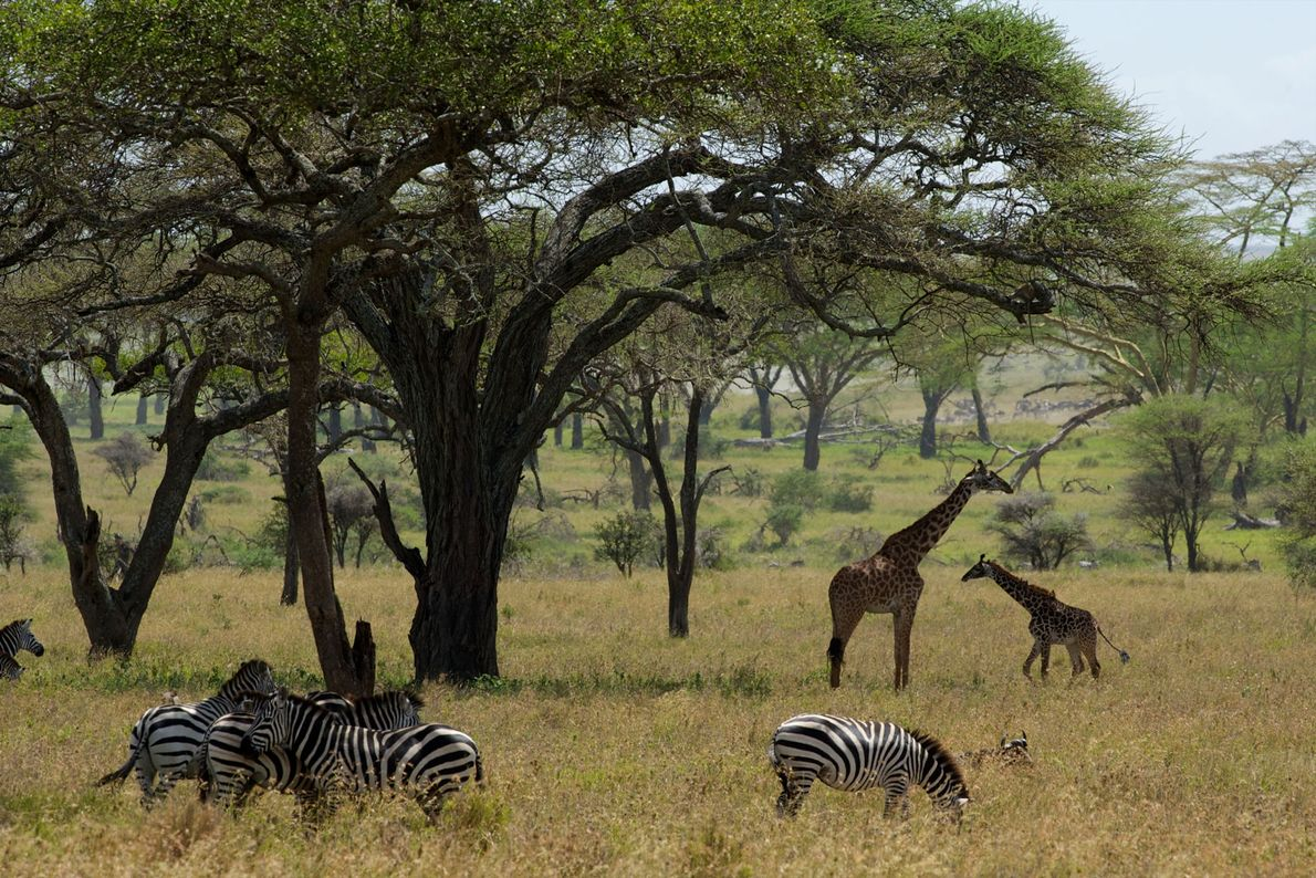 Jirafas del Serengueti