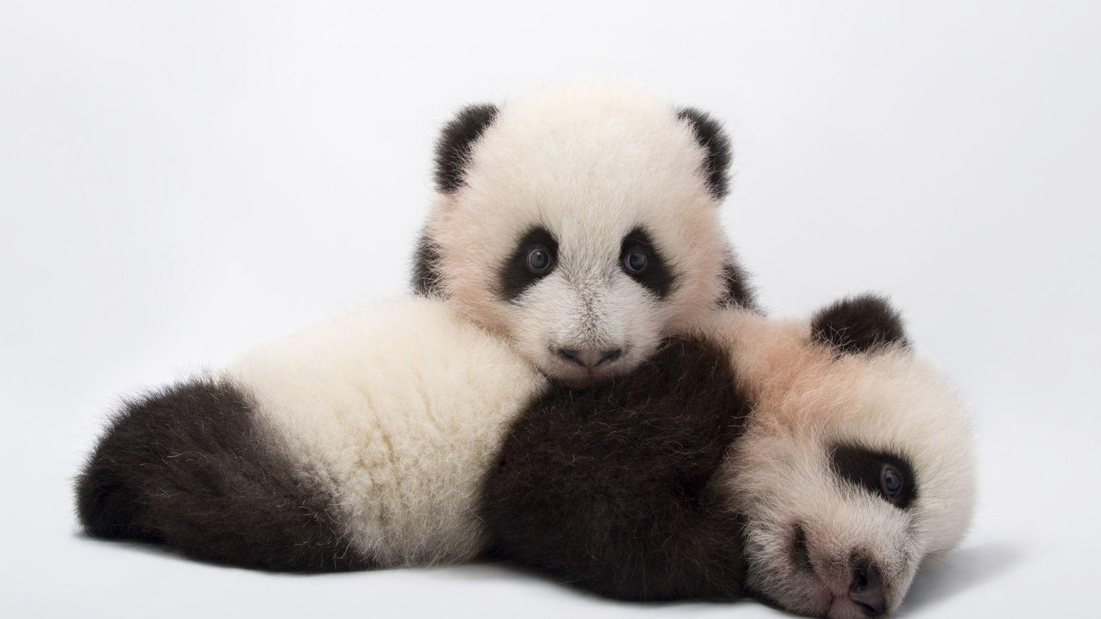 Pandas Photo Ark