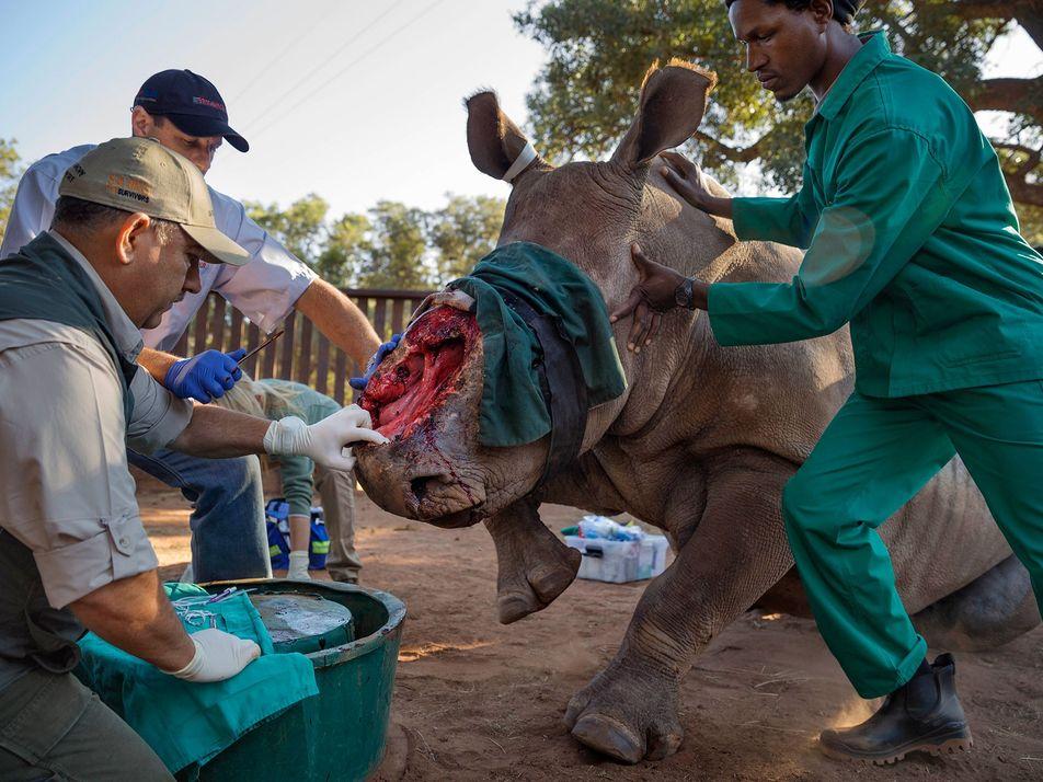 Las devastadoras consecuencias de la caza furtiva de rinocerontes