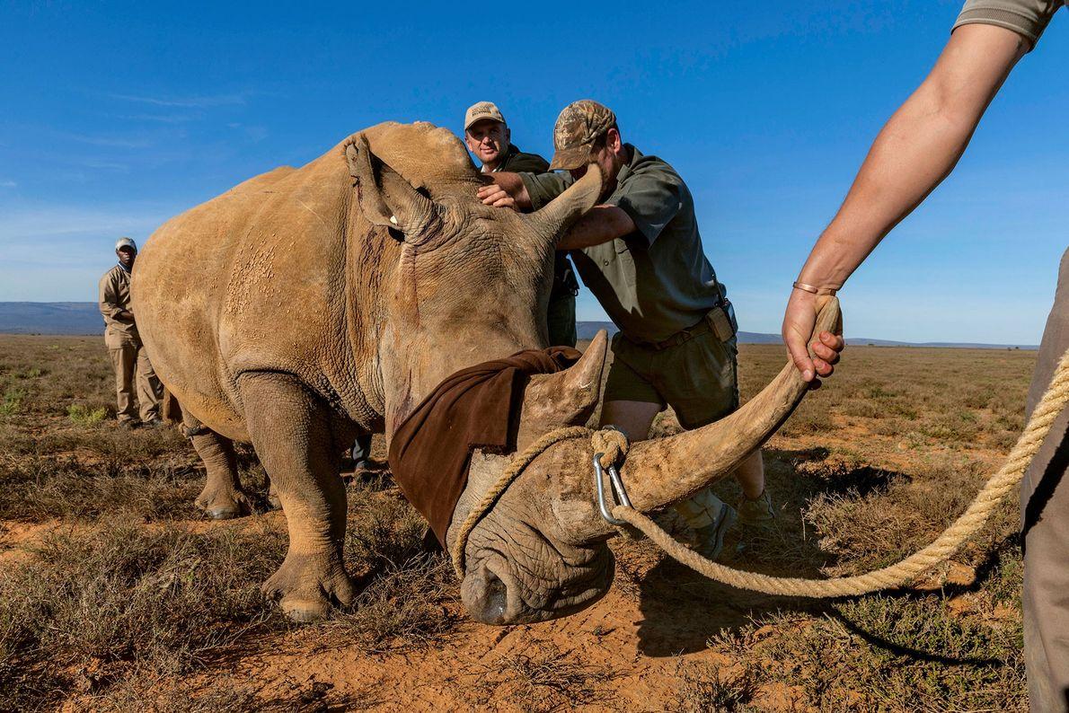 Traslado del rinoceronte
