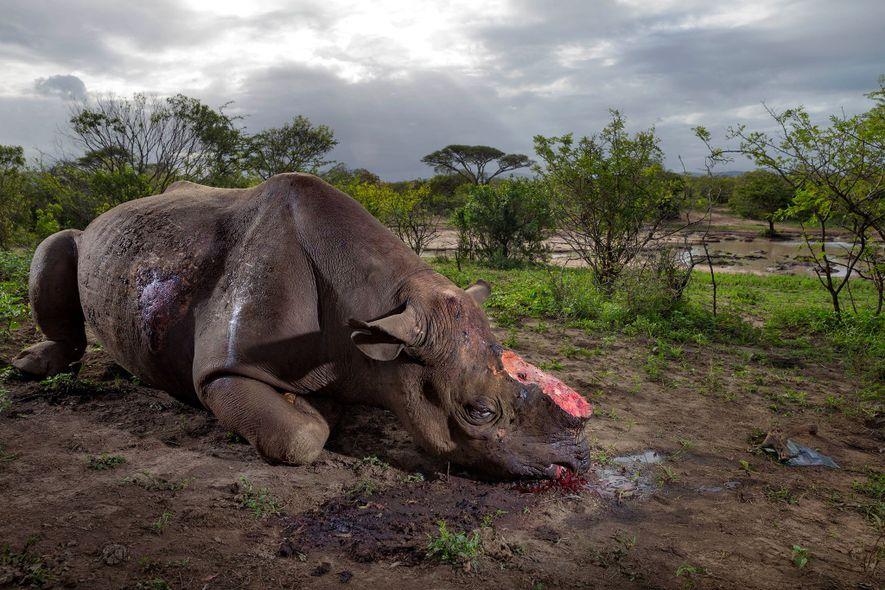 Los furtivos mataron a este rinoceronte negro por su cuerno con balas de alto calibre en ...