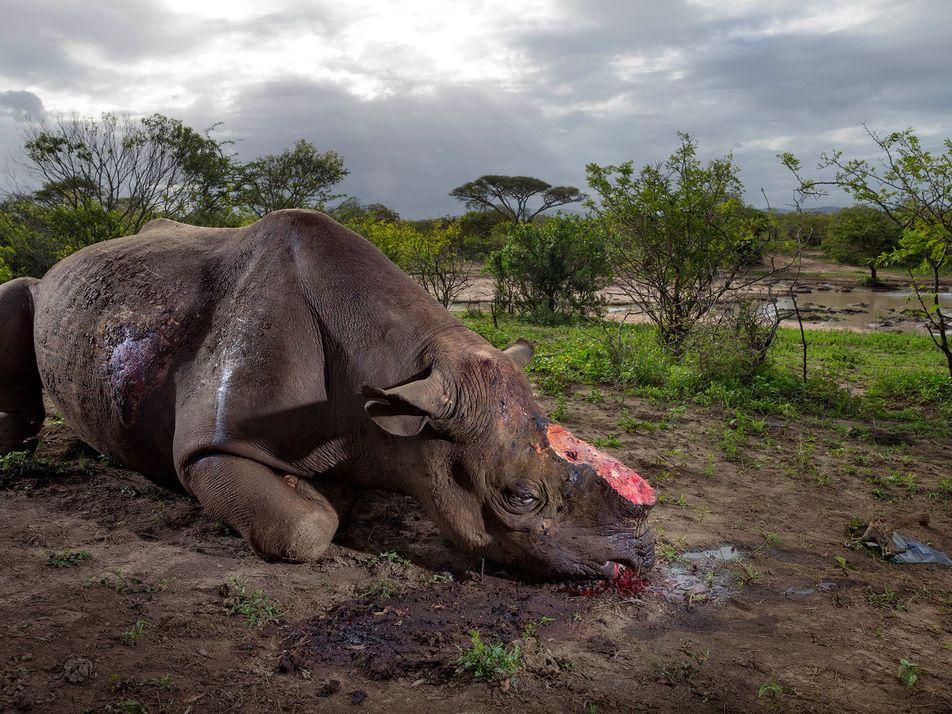 Diplomáticos norcoreanos acusados de traficar con marfil y cuernos de rinoceronte