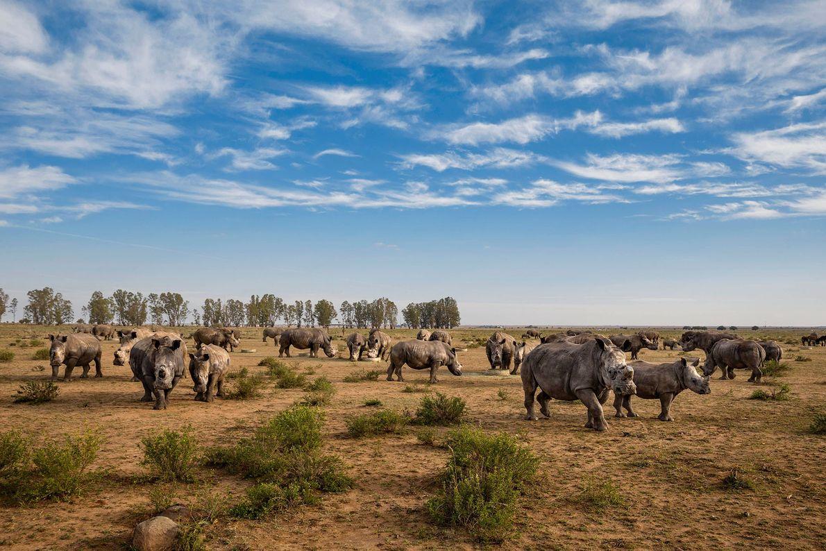 Rinocerontes a los que acaban de recortarles los cuernos