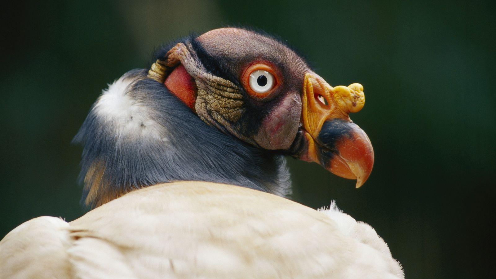 Zopilote Real, de las aves mexicanas.