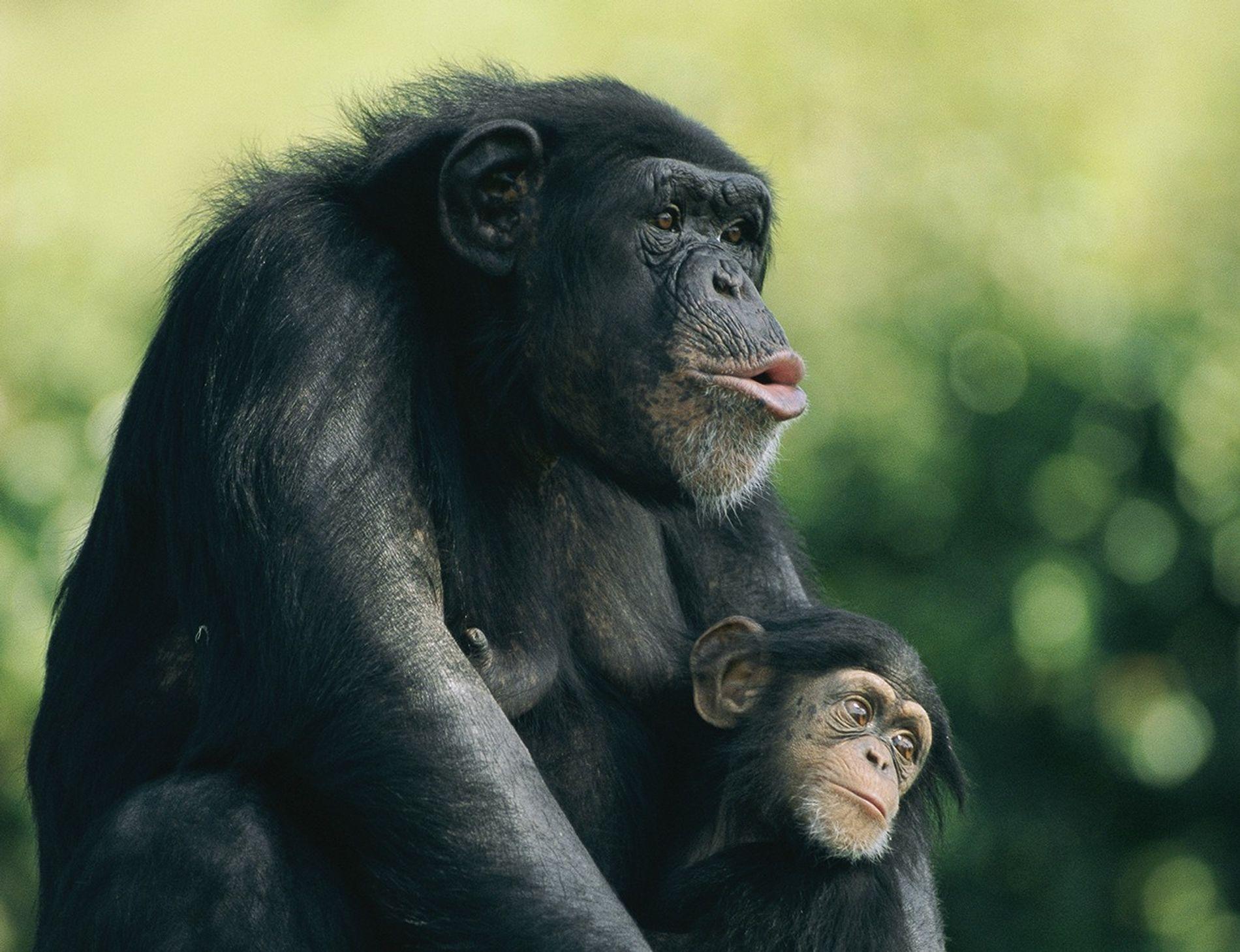 Chimpance 01