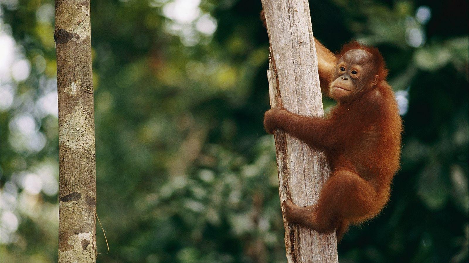 Orangutan de borneo 01