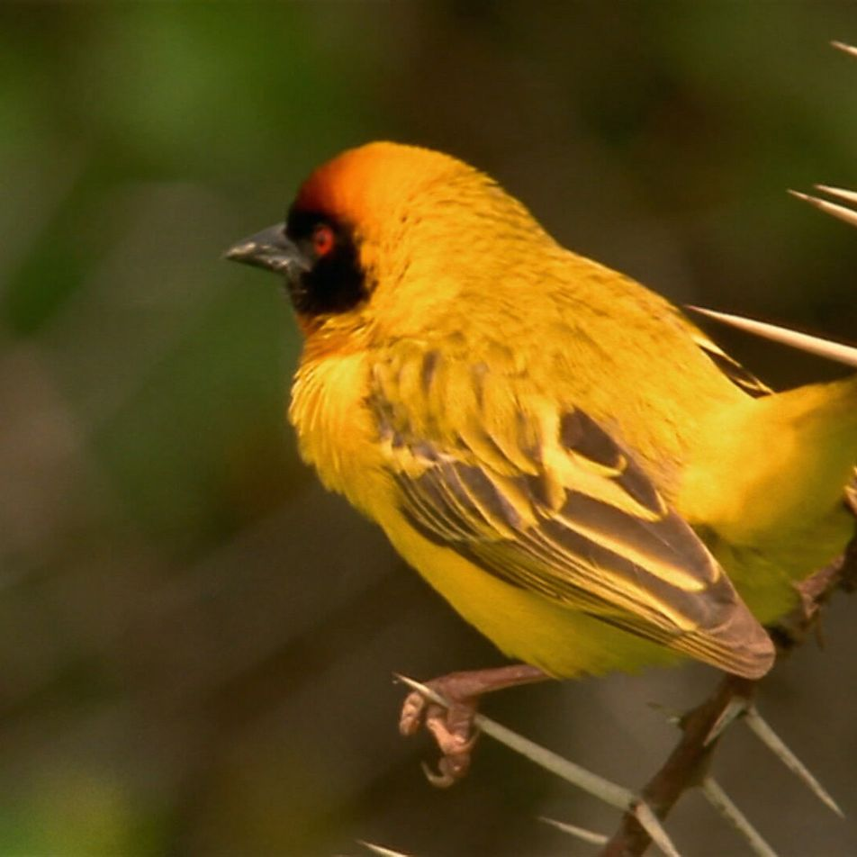 Los tejedores tienen un efectivo sistema de seguridad en sus nidos