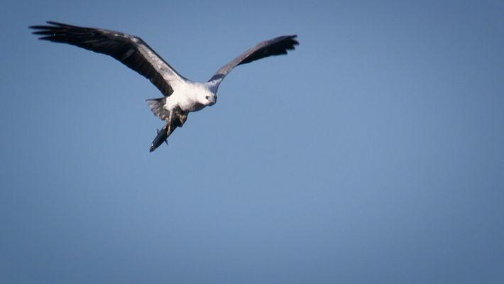Este águila es una depredadora mortal incluso a 3 kilómetros de distancia