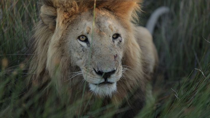 Esta nueva generación está salvando a los leones de Zambia