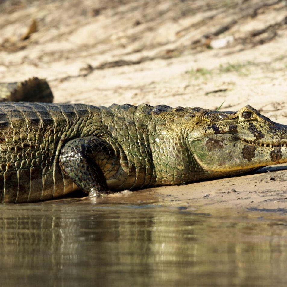 Este jaguar hambriento intenta cazar caimanes junto al río