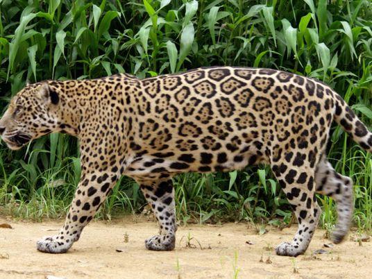 Esta madre jaguar enseña a su cría todo lo necesario para sobrevivir
