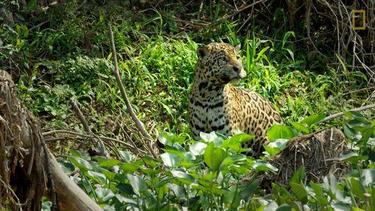 El tenso encuentro entre un jaguar macho alfa y un macho más joven que se mete ...