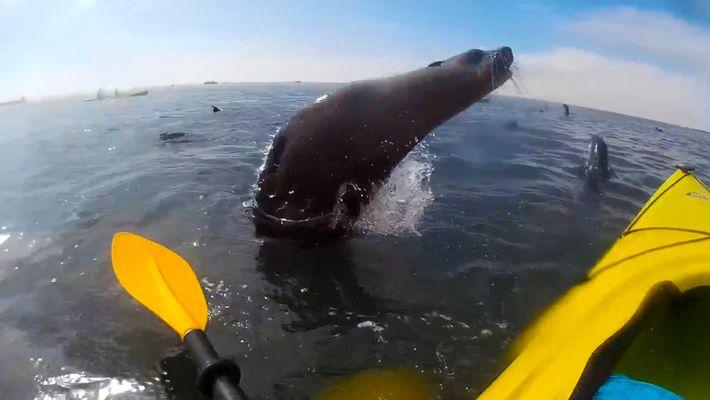 Los saltos de esta foca casi vuelcan el kayak de este navegante