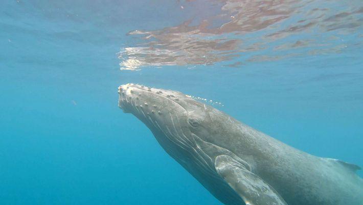 ¿Cómo da a luz una ballena jorobada? Estos exploradores quieren resolver el misterio