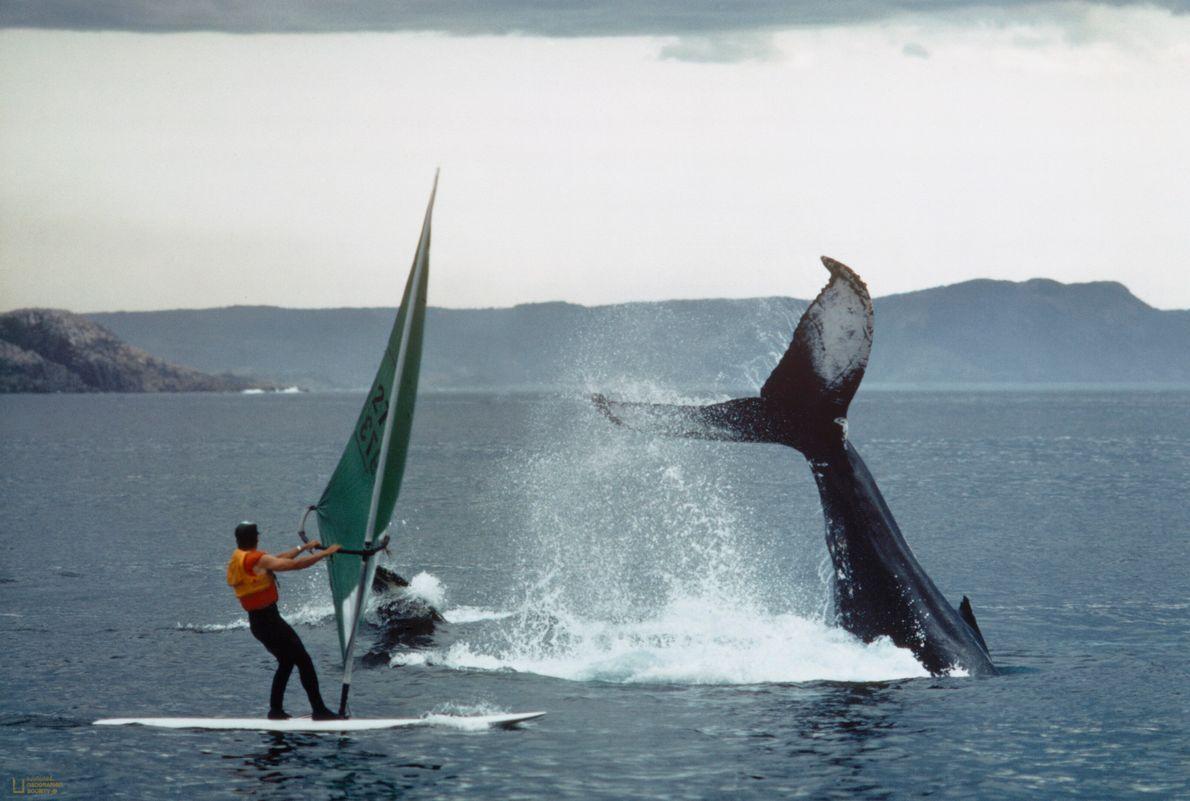 Imagen de dos ballenas jorobadas respirando en la superficie de la bahía de Bonavista, Newfoundland, Canadá, ...