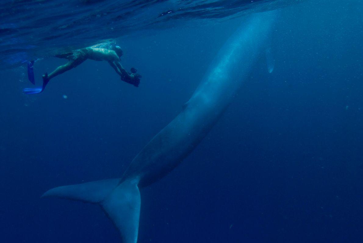 Imagen de una cría de ballena azul nadando junto a un buzo