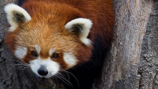 Fotos de pandas rojos que despiertan ternura