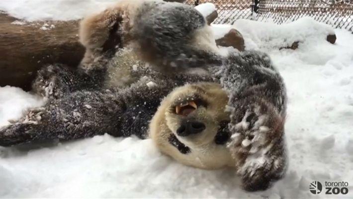 Observa cómo retozan en la nieve estos pandas