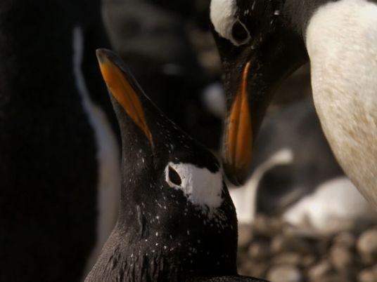 Una historia de amor entre pingüinos