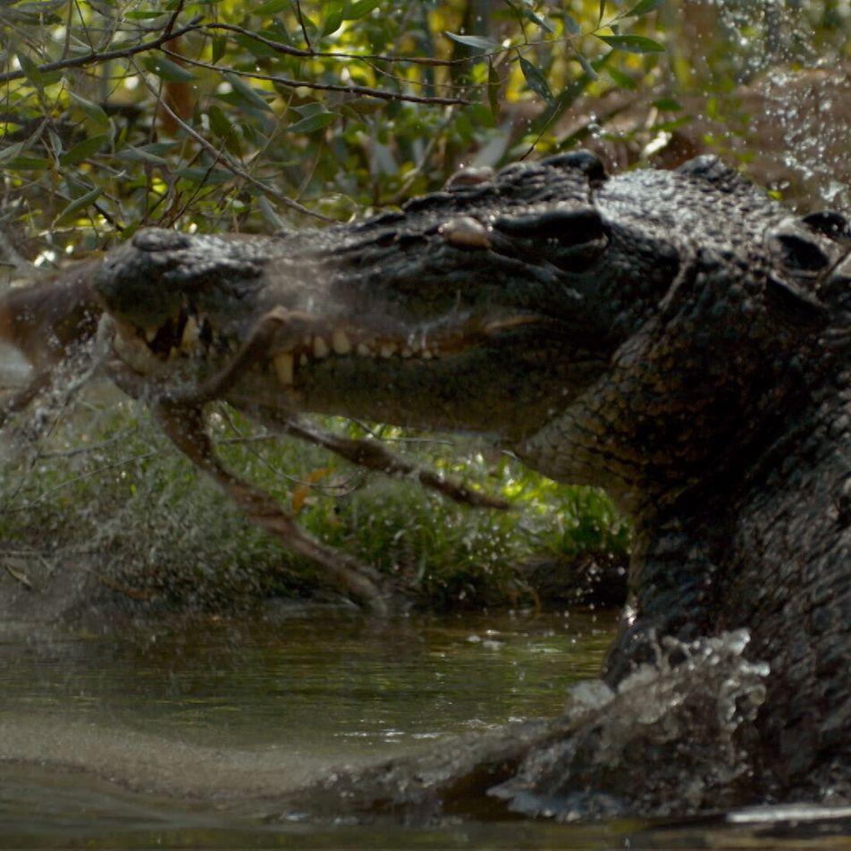El sigiloso, rápido y mortal ataque de un cocodrilo, desde distintos ángulos