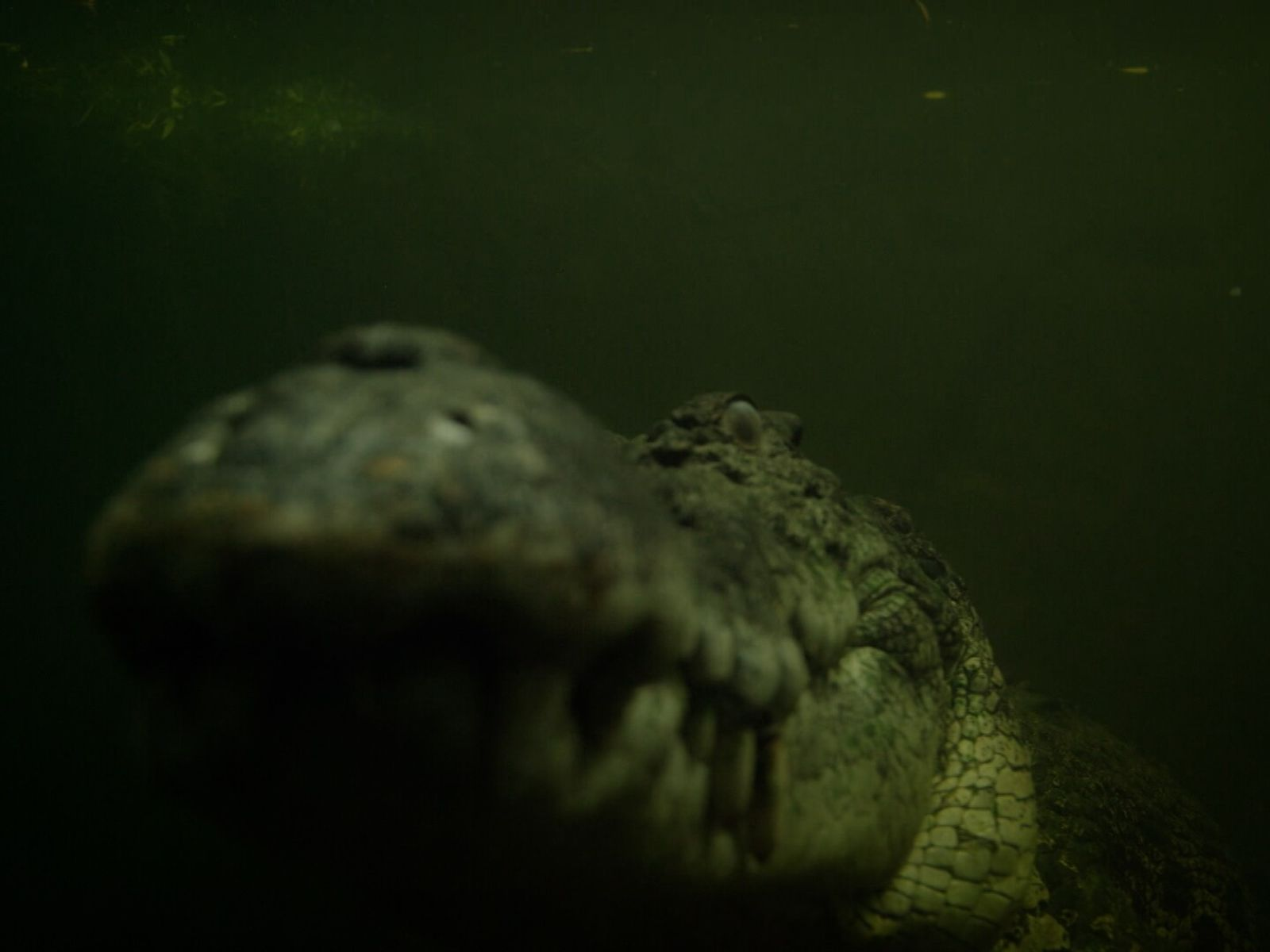 Un cocodrilo marino acecha en el agua, su víctima puede ser cualquier animal con un poco ...