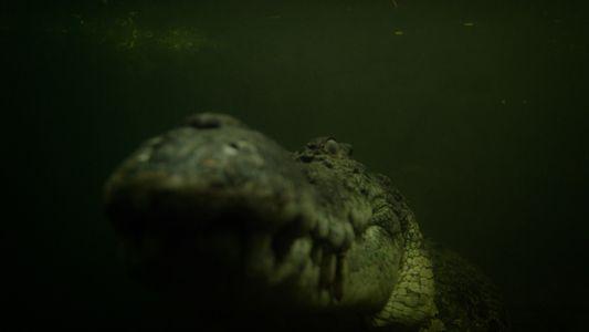 Vuelve la vida al río y se abre el banquete de este cocodrilo marino