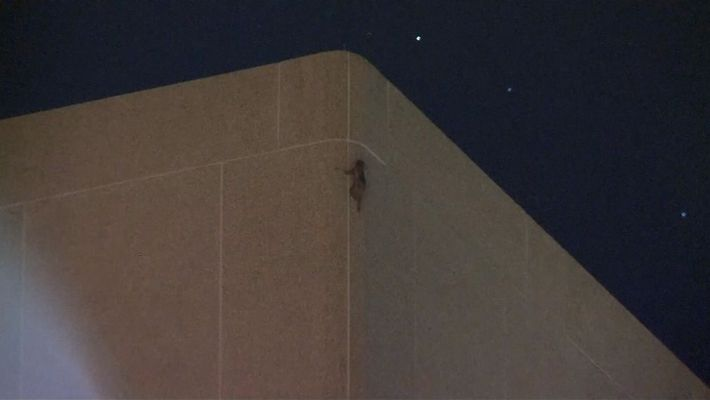 Un mapache escala un edificio de 25 pisos en Minnesota