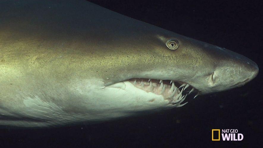 Los dientes de este tiburón no cortan: empalan