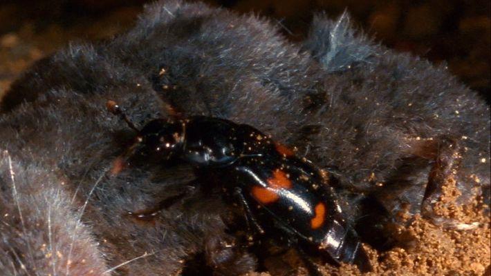 Estos escarabajos usan los cadáveres de animales como guarderías