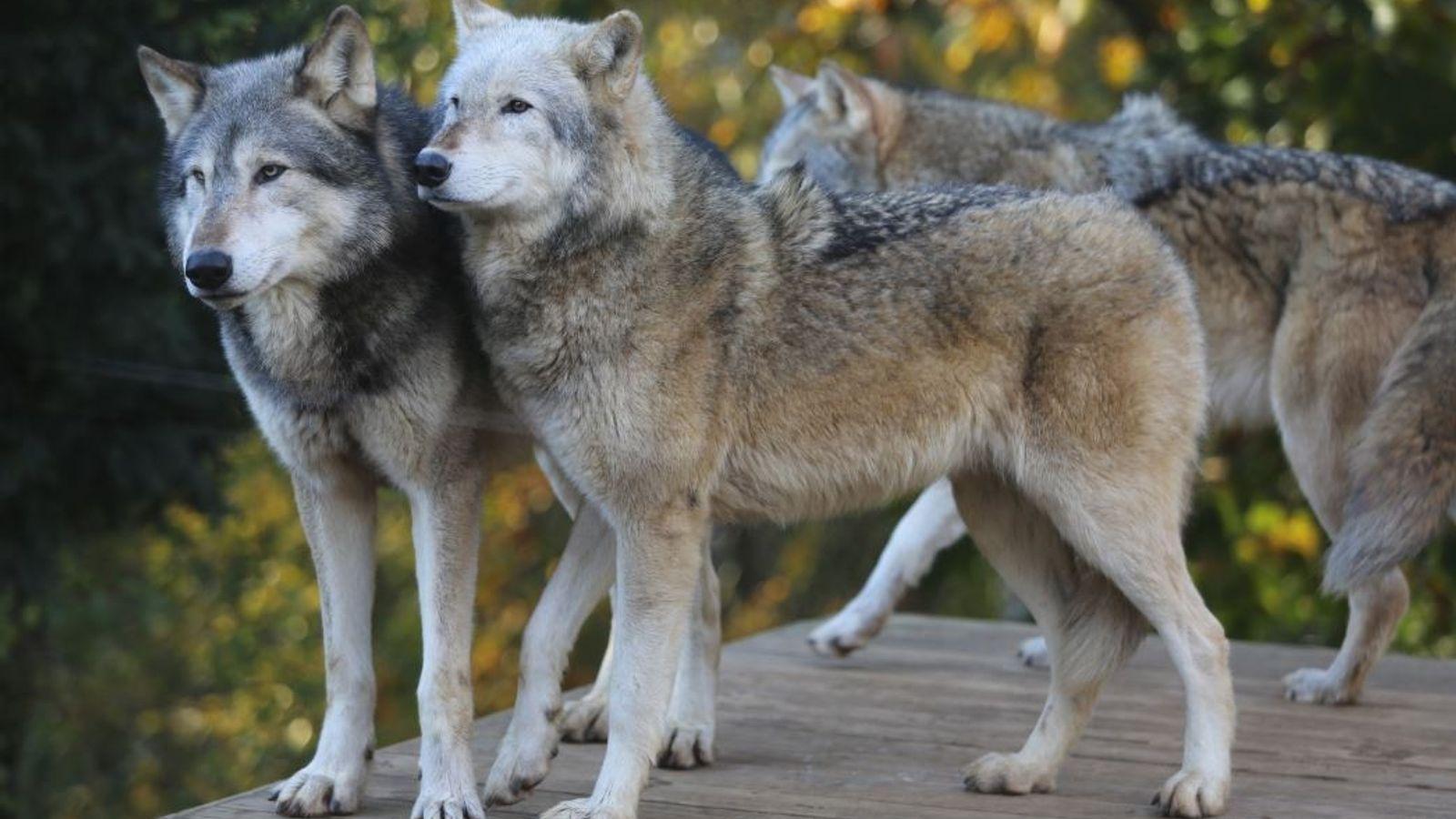 Lobos grises