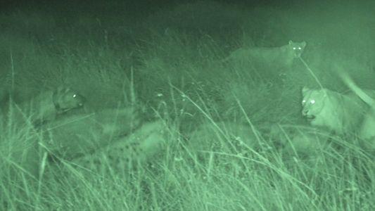 Un clan de hienas evita que una manada de leones se lleve su comida