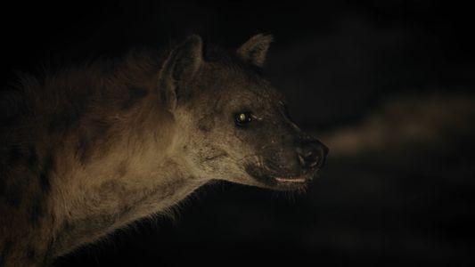Unas hienas roban la presa a un cocodrilo