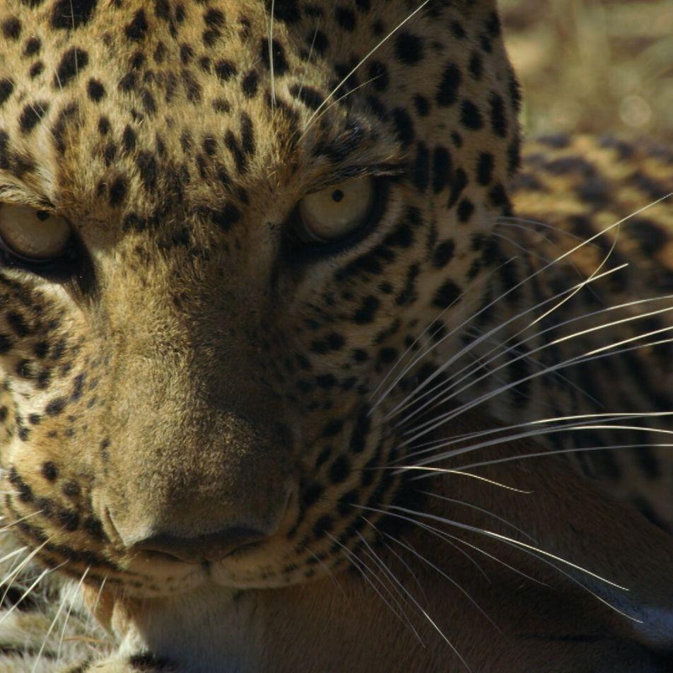 Pula caza un impala