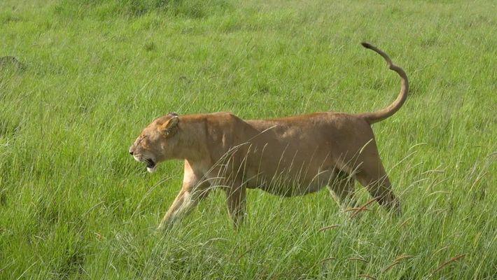 Te presentamos a Kinky Tail, la leona que dirige esta manada