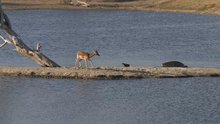 Un cocodrilo acorrala a un impala en una pequeña isla