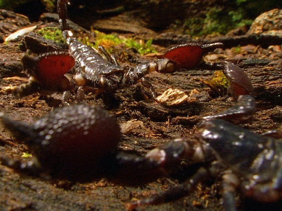 Vídeo: Estos escorpiones caníbales luchan a muerte