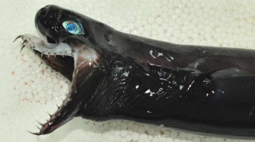 Capturado en Taiwán un raro tiburón pelágico con mandíbula extensible