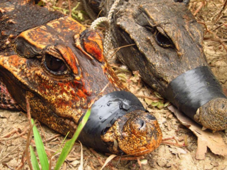 Estos cocodrilos enanos podrían estar convirtiéndose en una nueva especie