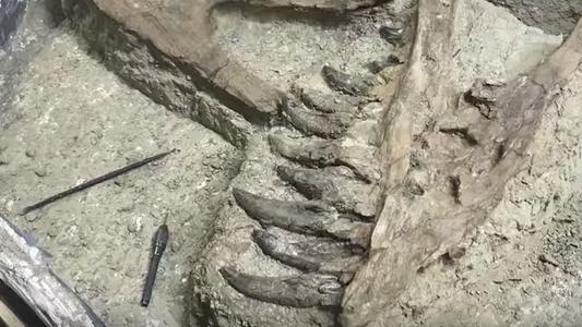 ¿Es este fósil una cría de T. rex o un polémico «nanotiranosaurio»?