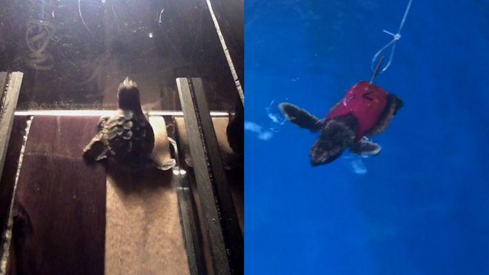 Estas crías de tortuga caminan en la cinta por la ciencia