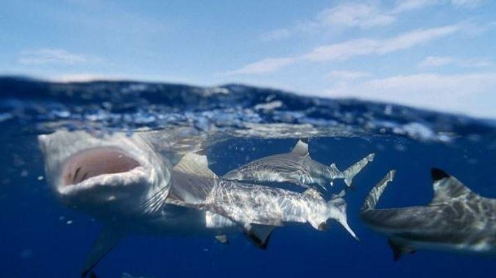 #SharkFest - Tiburón sarda vs tiburón punta negra