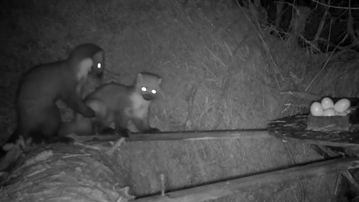 Dos martas luchan por la comida