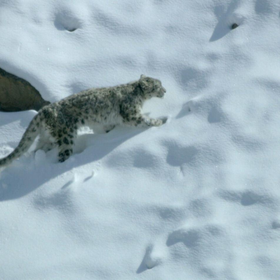 La caza del leopardo de las nieves