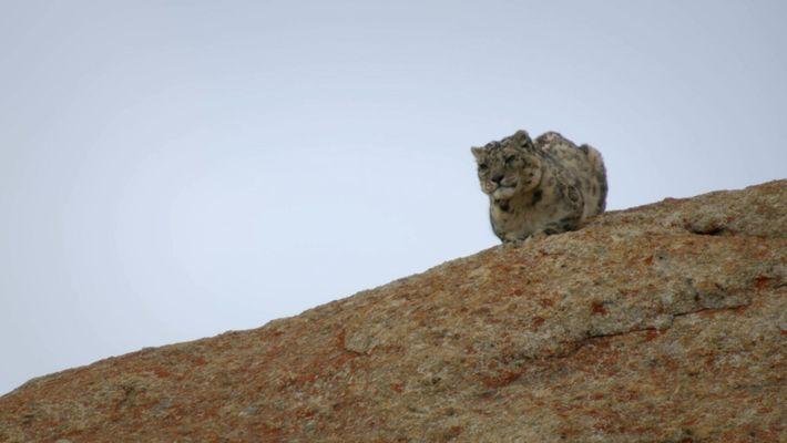 Un leopardo de las nieves defiende su comida de los carroñeros