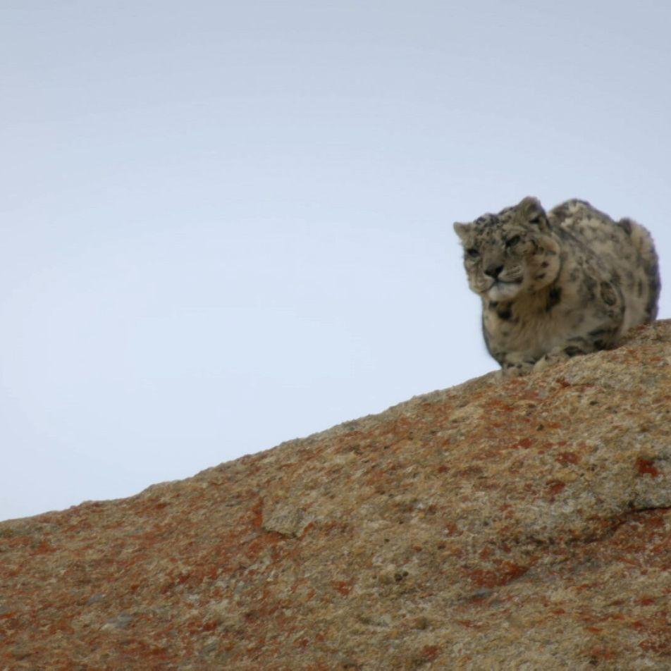 Vídeo: Un leopardo de las nieves defiende su comida de los carroñeros